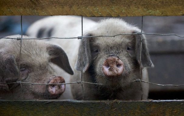 Фото обои two, fence, little, farm, piggies