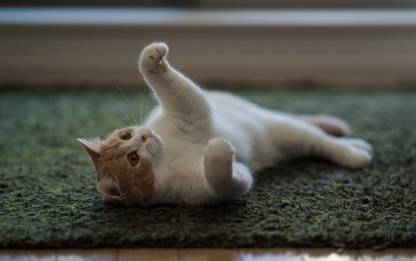 Фото обои кошка, ковер, пол, лежа, Ben Torode, Hannah, Benjamin Torode