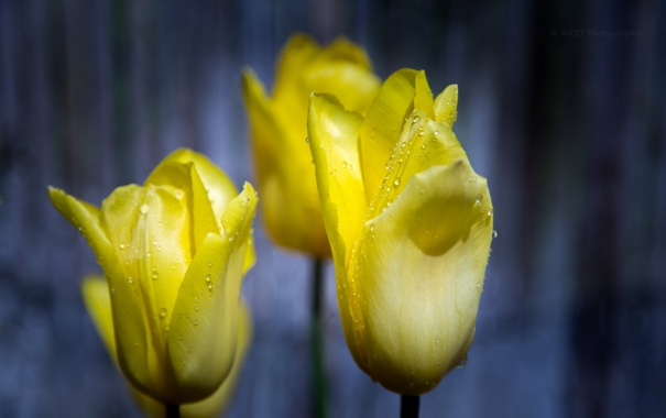 Фото обои цветы, фон, тюльпаны