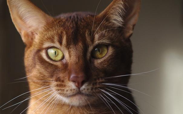 Фото обои кошка, усы, морда, фон, окрас, рыжая
