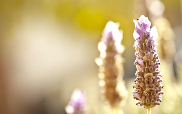 Фото обои макро, лаванда, солнечный свет, соцветие