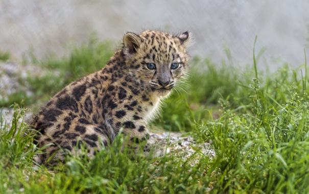 Фото обои кошка, трава, ирбис, снежный барс, котёнок, детеныш, ©Tambako The Jaguar