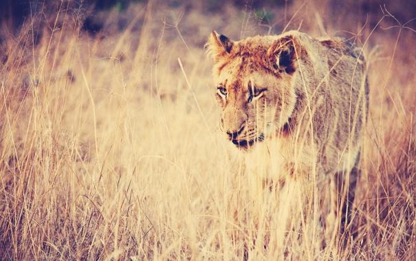 Фото обои поле, трава, глаза, взгляд, природа, поза, Лев