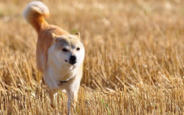 Фото обои поле, друг, собака