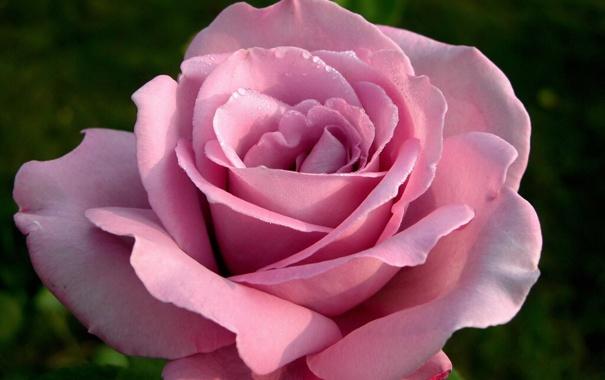 Фото обои цветок, макро, Роза