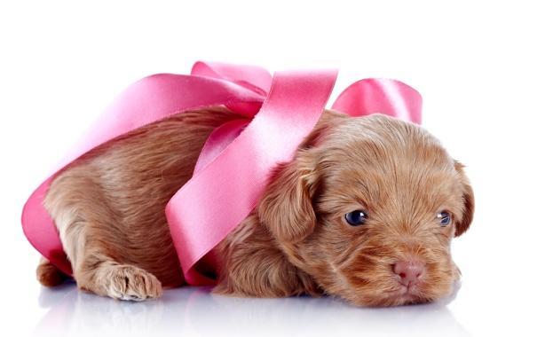 Фото обои собака, puppy, sweet