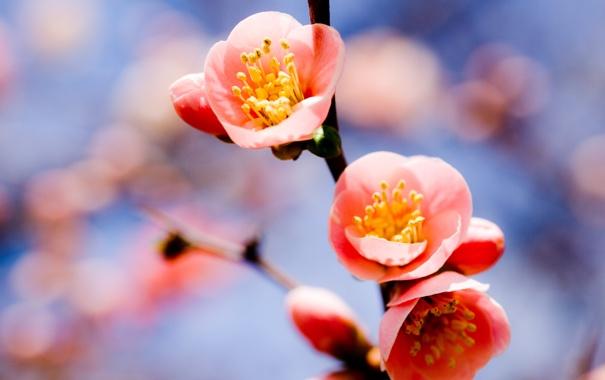 Фото обои небо, ветка, весна, абрикос, три цветка