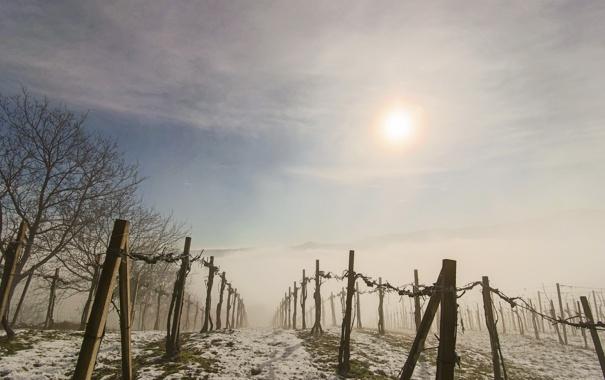 Фото обои туман, утро, виноградник