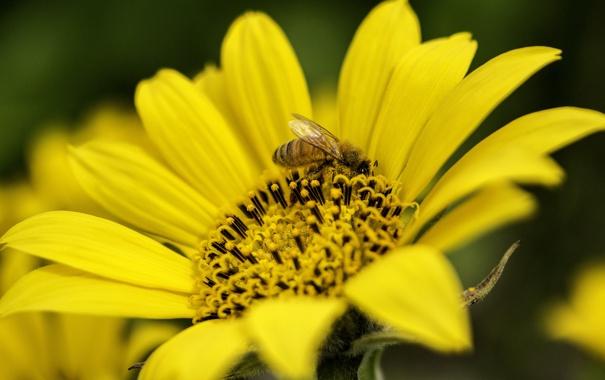 Фото обои цветок, лето, желтый, пчела