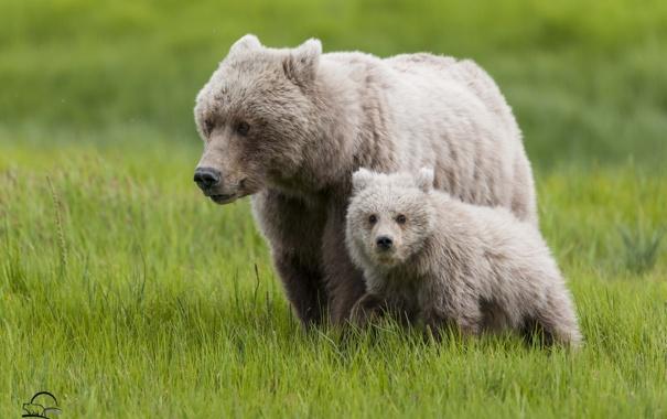 Фото обои трава, медведи, медвежонок, детёныш, медведица, материнство