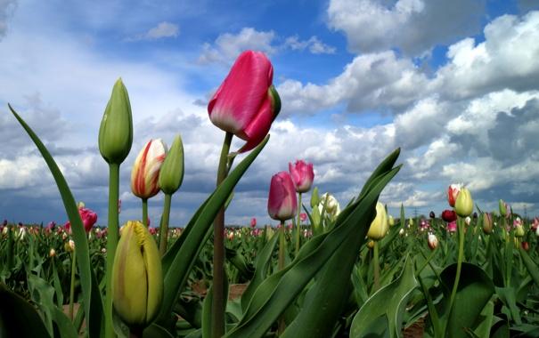 Фото обои поле, небо, облака, тюльпаны