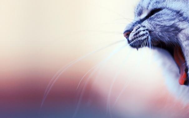 Фото обои кот, усы, пасть, зевает