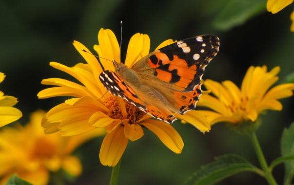 Фото обои лето, бабочки, цветы, насекомые