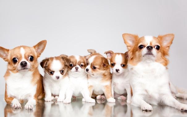 Фото обои семья, щенки, чихуахуа, милые