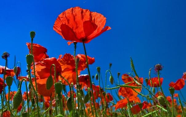 Фото обои поле, небо, природа, маки, лепестки, луг