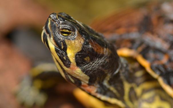 Фото обои black, yellow, shell, Reptile