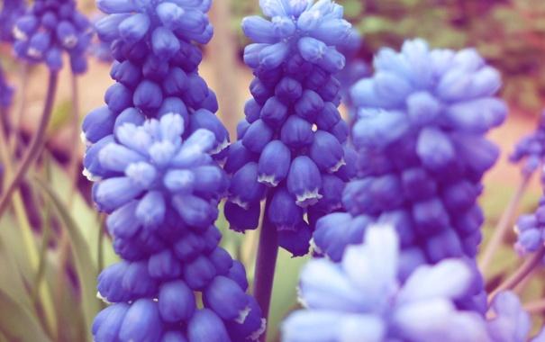 Фото обои лето, цветы, синее, мускари