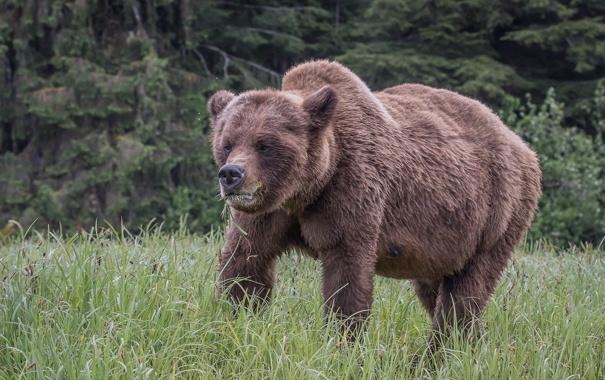 Фото обои природа, Bear, Grizzly