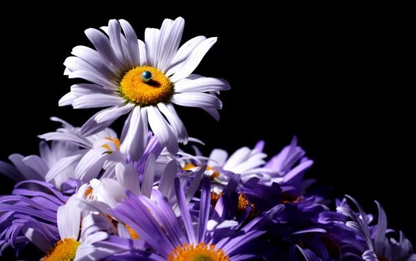 Фото обои цветы, темный фон, хризантемы, бусинка