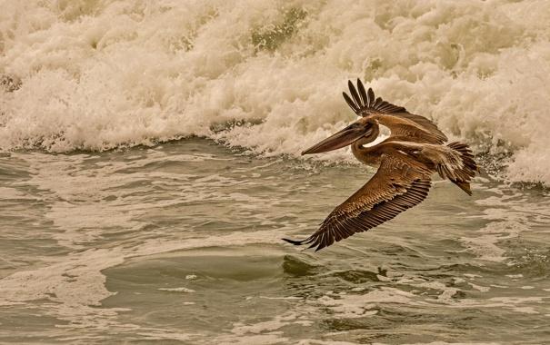 Фото обои море, полет, птица, пеликан
