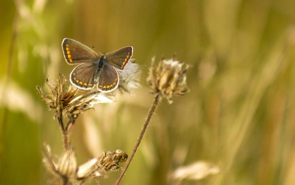 Фото обои трава, лето, бабочка, насекомое, коричневый, обои, природа