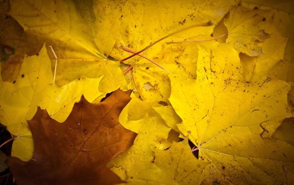 Фото обои осень, листья, жёлтый, клён