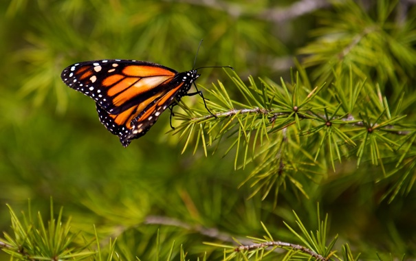 Фото обои иголки, бабочка, ветка, метелик, батрфляй