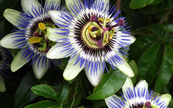 Фото обои цветок, макро, фото, пассифлора, passiflora