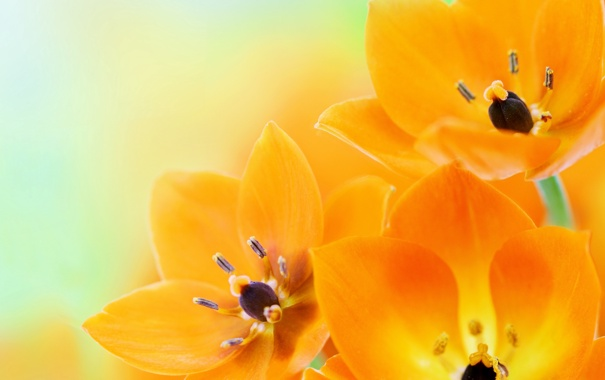 Фото обои цветы, flowers, оранжевые тюльпаны, orange tulips