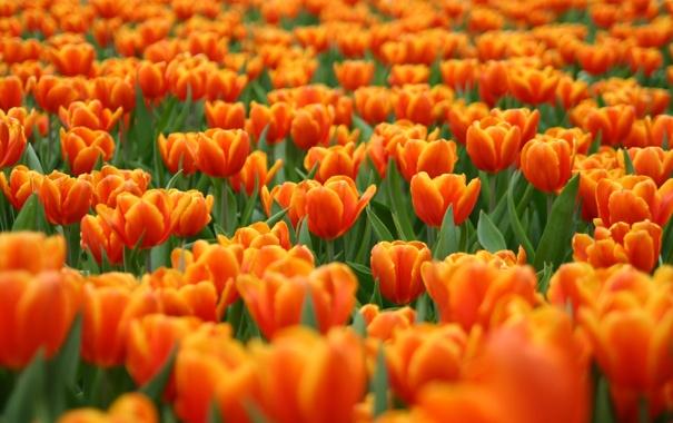 Фото обои цветы, поляна, тюльпаны, красные, оранжевые