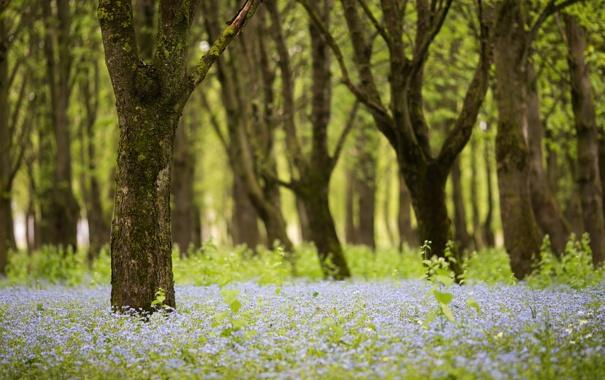 Фото обои лес, деревья, цветы, природа, весна