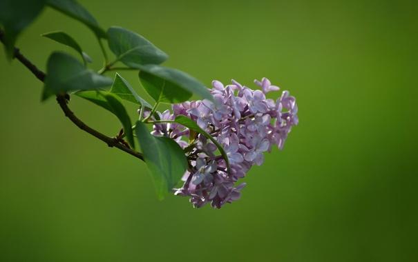 Фото обои цветы, куст, ветка, весна, сирень