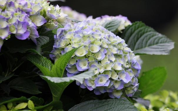 Фото обои цветение, кустарник, гортензия, синие цветы