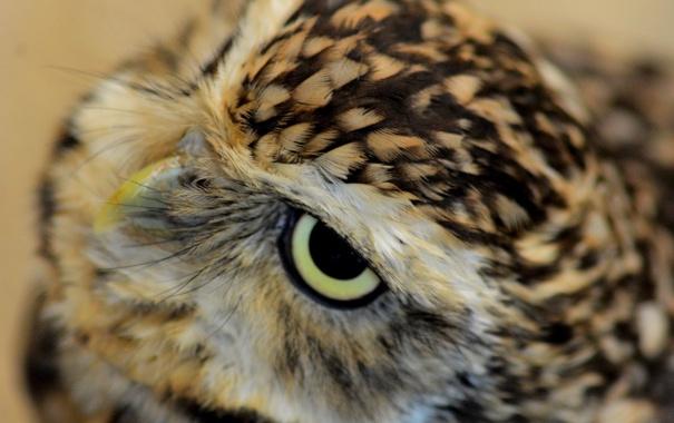 Фото обои глаза, взгляд, сова, клюв