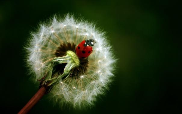 Фото обои макро, природа, одуванчик, растение, божья коровка, пушинки