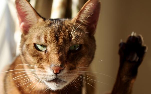 Фото обои кот, морда, солнце, лапа, фокус, котэ
