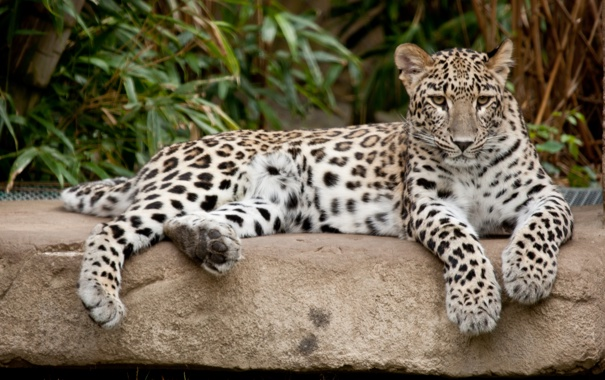 Фото обои кошка, камень, леопард, персидский