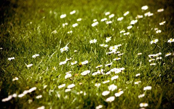 Фото обои поле, цветы, природа, фото, обои