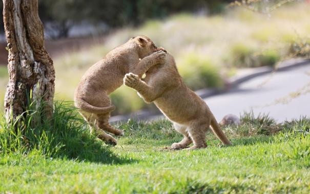 Фото обои игра, хищники, борьба, драка, пара, малыши, дикие кошки