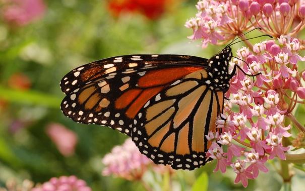 Фото обои цветок, лето, макро, цветы, бабочка, Butterfly, Monarch