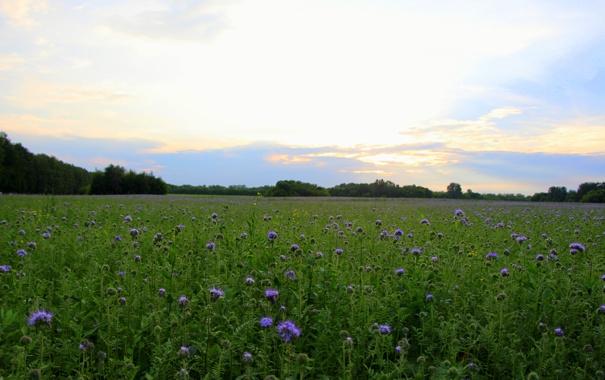 Синие цветы поле
