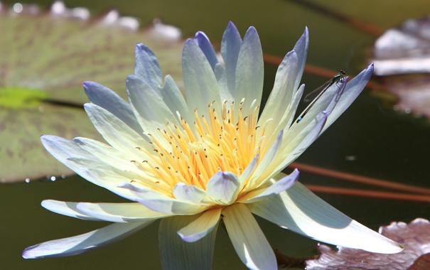 Фото обои цветок, лилия, лепестки, кувшинка, водяная