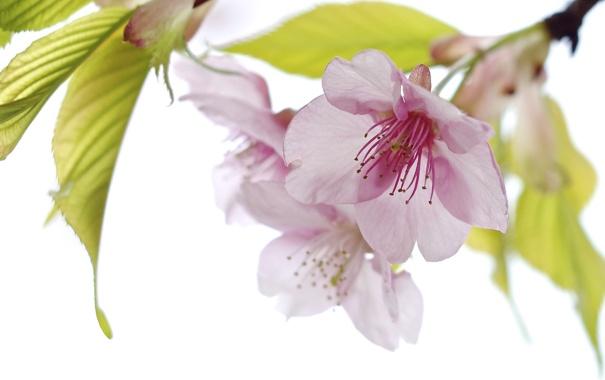 Фото обои листья, цветы, весна, лепестки, сад