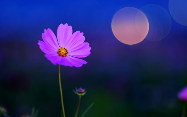 Фото обои цветок, макро, ночь, синий, блики, фон, цвет