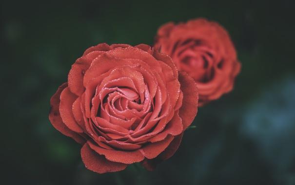 Фото обои цветок, роза, лепестки, красная