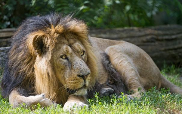 Фото обои кошка, трава, отдых, лев, ©Tambako The Jaguar