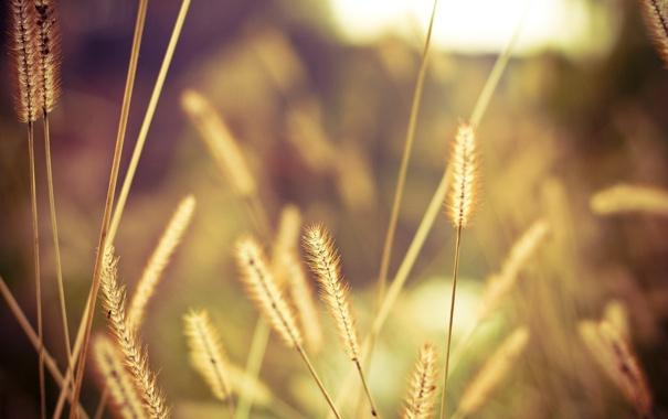Фото обои колоски, поле, свет, макро, солнце