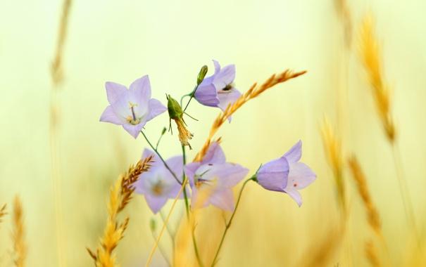 Фото обои лето, цветы, природа, растение, луг, сено, колокольчик