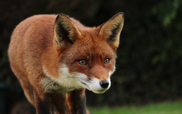 Фото обои fox, animal, cute