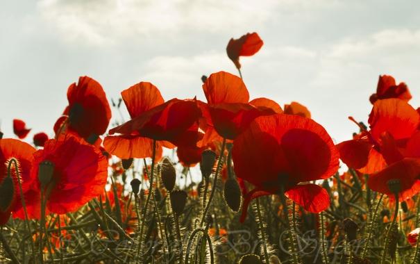 Фото обои поле, небо, маки, красные, бутоны
